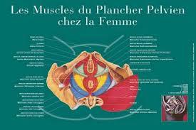 périnée muscle
